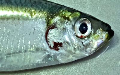 Fælles opråb fra fiskerierhvervet angående brisling